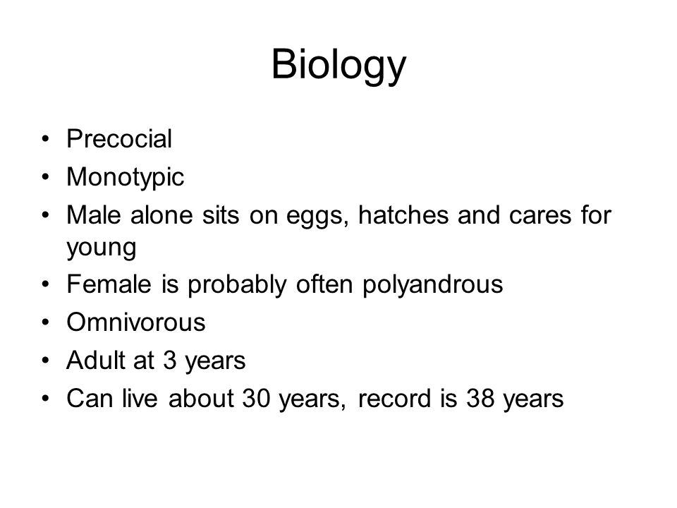 Biology Precocial Monotypic Male alone sits on eggs, hatches and cares for young Female is probably often polyandrous Omnivorous Adult at 3 years Can live about 30 years, record is 38 years