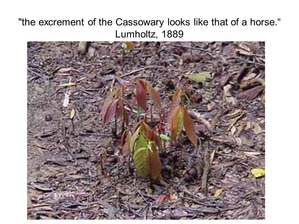 the excrement of the Cassowary looks like that of a horse. Lumholtz, 1889