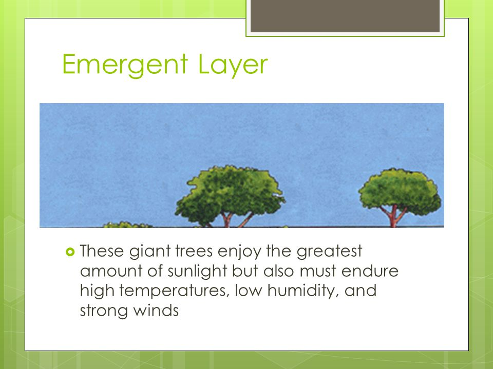 Emergent Layer  These giant trees enjoy the greatest amount of sunlight but also must endure high temperatures, low humidity, and strong winds
