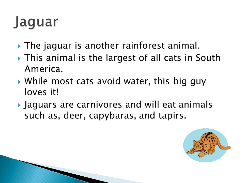  The jaguar is another rainforest animal.  This animal is the largest of all cats in South America.  While most cats avoid water, this big guy love