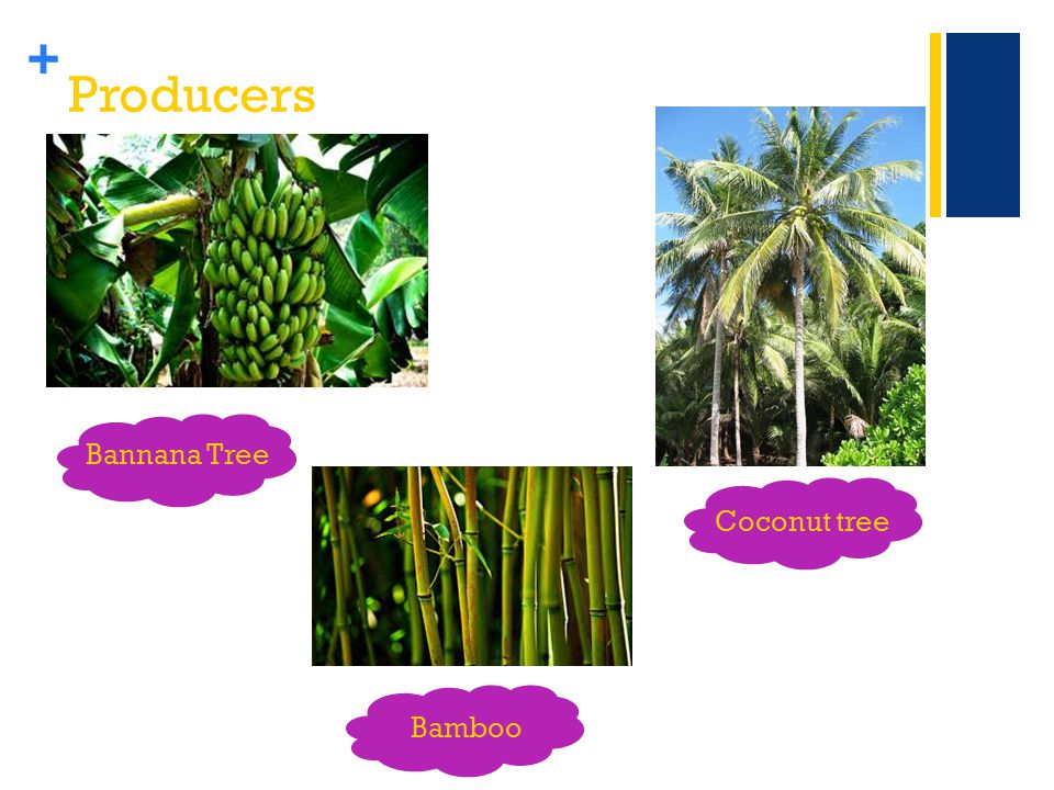 + Producers Bannana Tree Coconut tree Bamboo