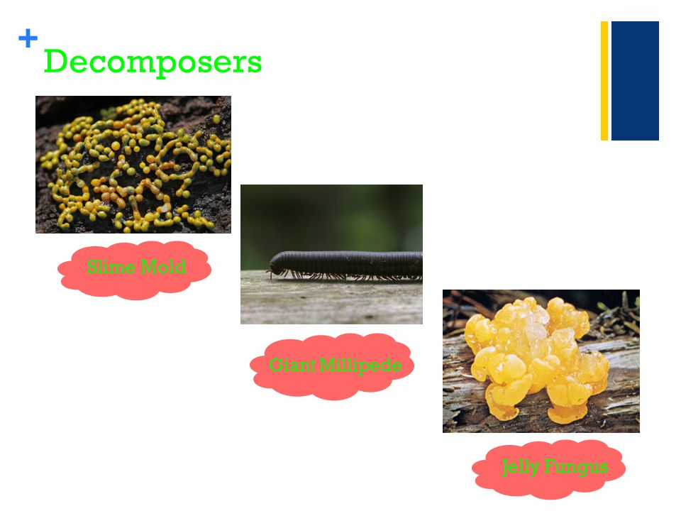 + Decomposers Slime Mold Jelly Fungus Giant Millipede