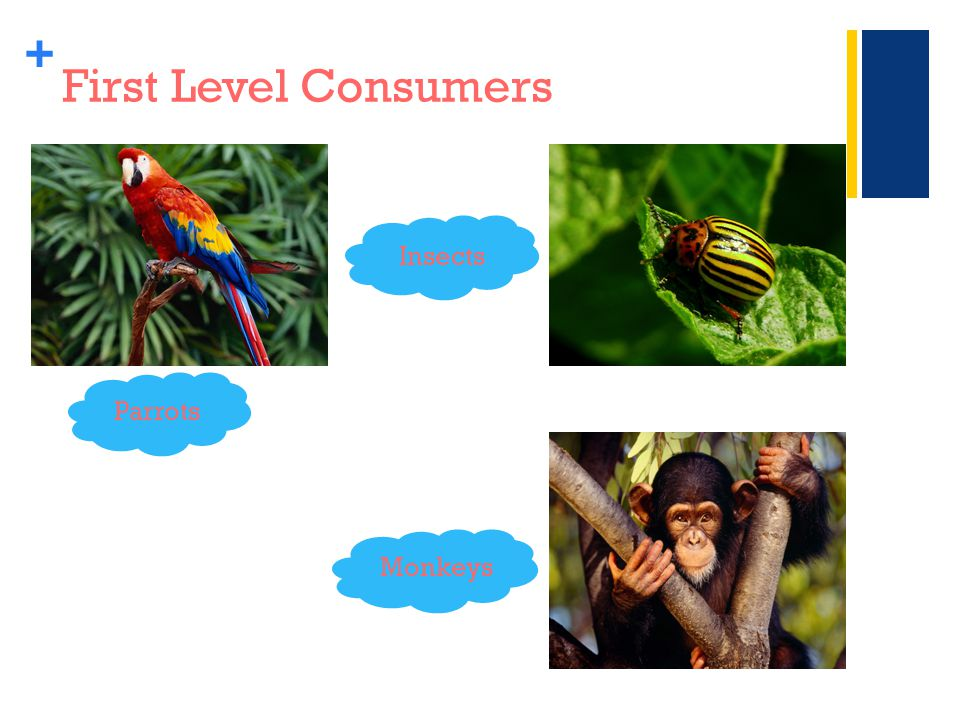 + First Level Consumers Parrots Monkeys Insects