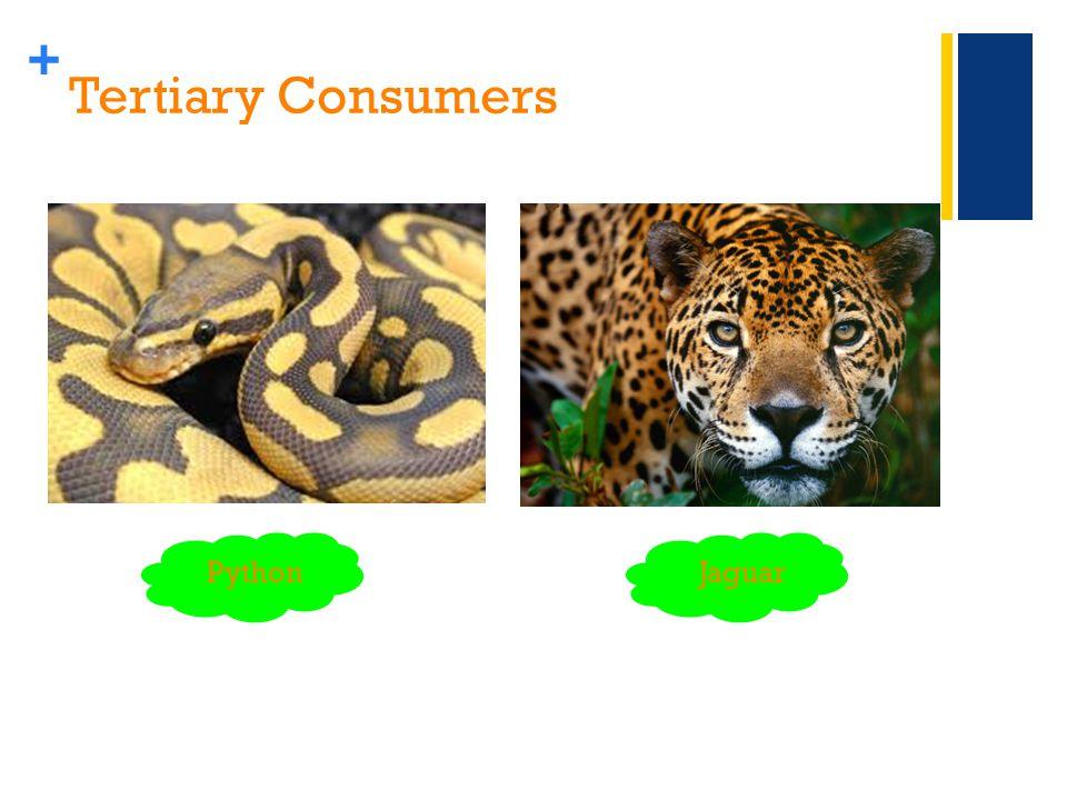 + Tertiary Consumers PythonJaguar