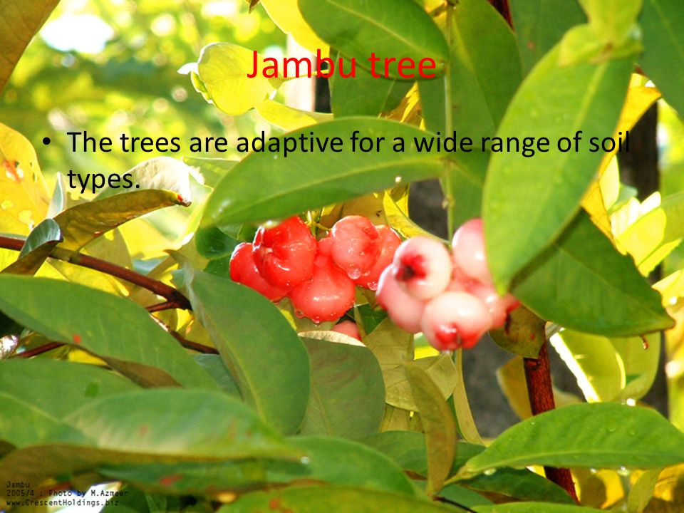 Jambu tree The trees are adaptive for a wide range of soil types.