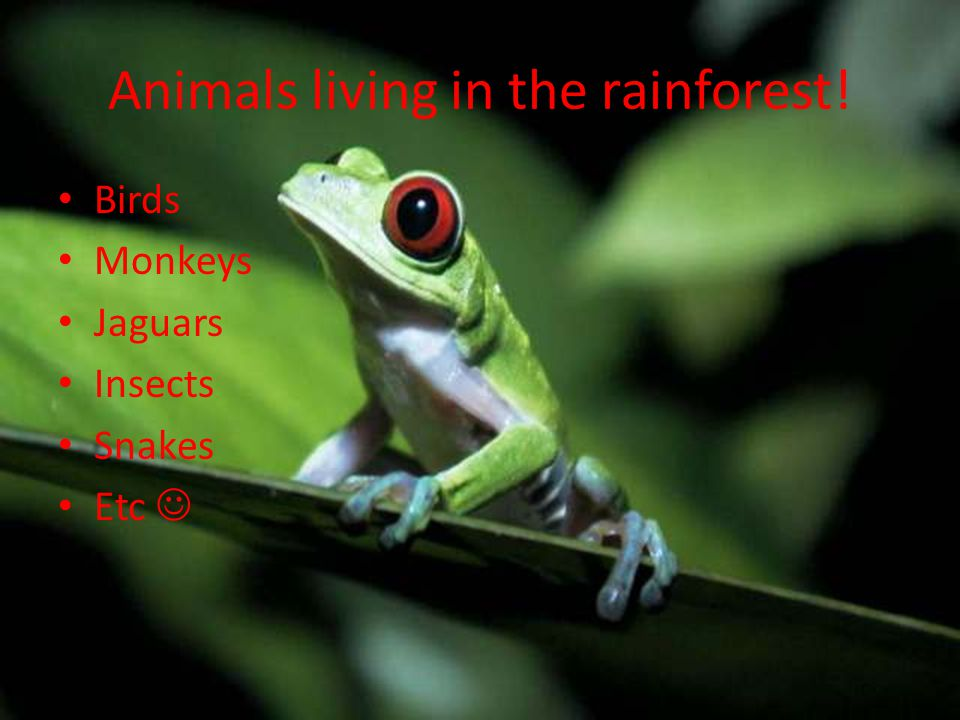 Animals living in the rainforest! Birds Monkeys Jaguars Insects Snakes Etc