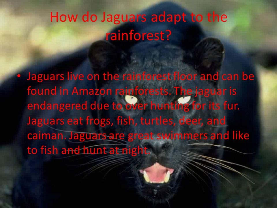 How do Jaguars adapt to the rainforest.