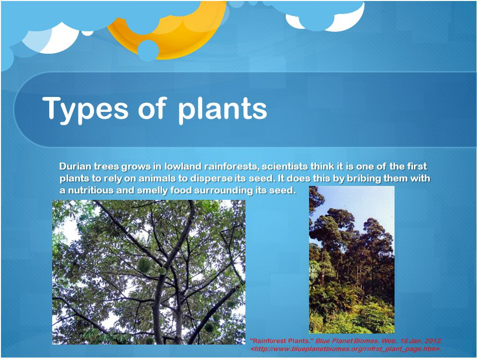 Types of plants Durian trees grows in lowland rainforests, scientists think it is one of the first plants to rely on animals to disperse its seed.