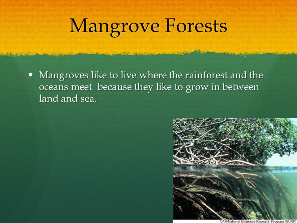 Mangrove Forests Mangroves like to live where the rainforest and the oceans meet because they like to grow in between land and sea. Mangroves like to