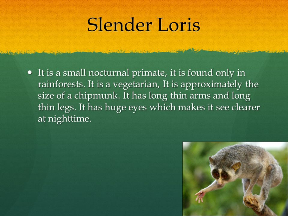 Slender Loris It is a small nocturnal primate, it is found only in rainforests. It is a vegetarian, It is approximately the size of a chipmunk. It has