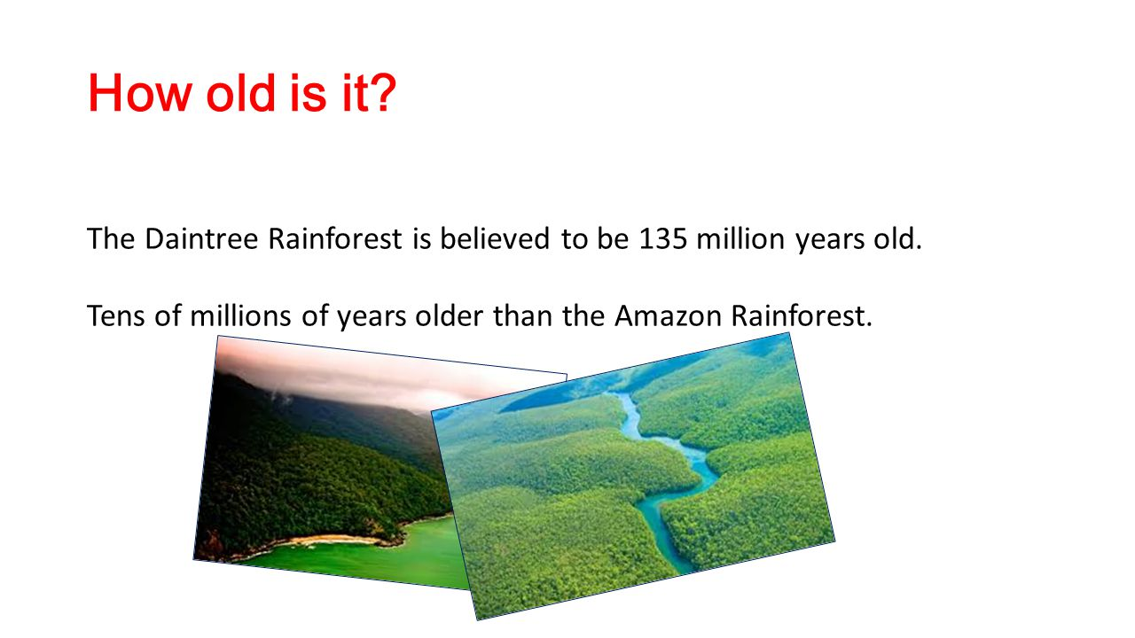 How old is it? The Daintree Rainforest is believed to be 135 million years old. Tens of millions of years older than the Amazon Rainforest.