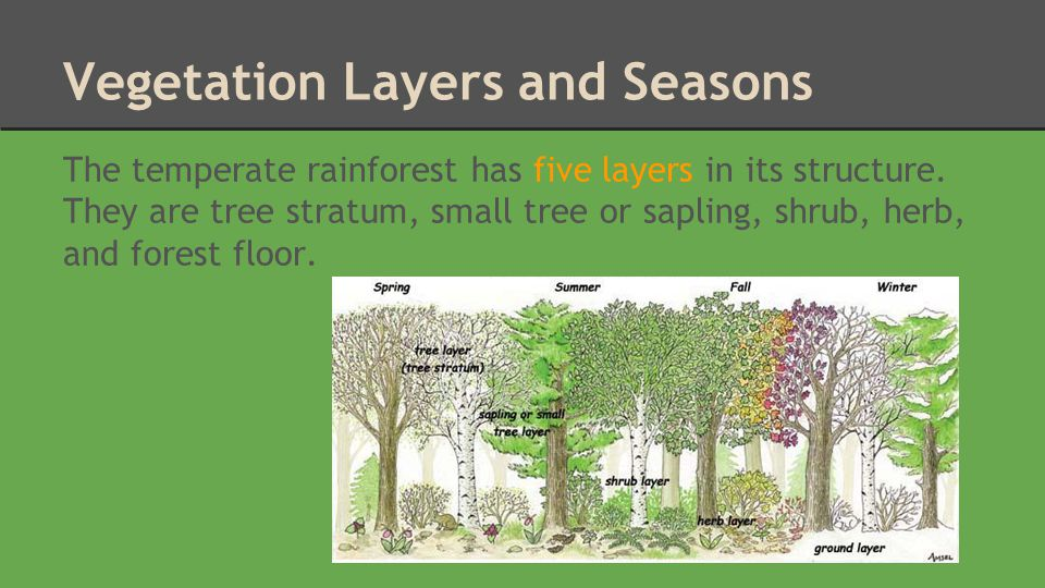 1.Tree Stratum The tree stratum is approximately 18-30 metres high and contains trees such as oak, maple, walnut, and hickory.