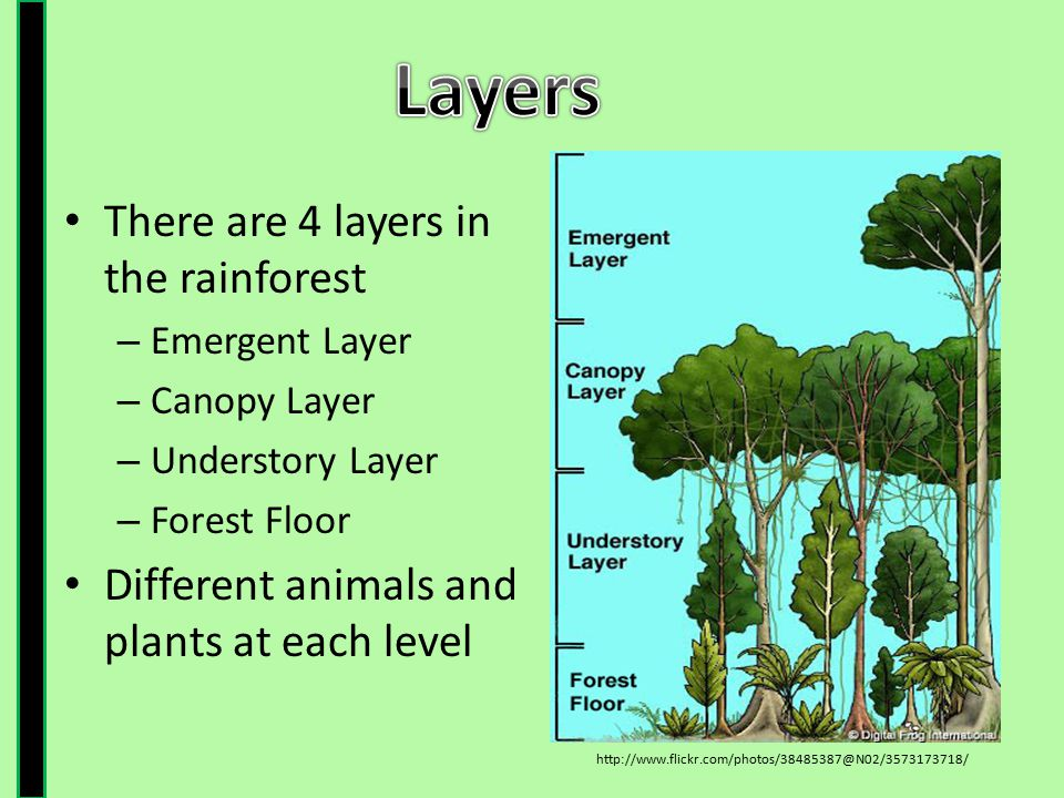 There are 4 layers in the rainforest – Emergent Layer – Canopy Layer – Understory Layer – Forest Floor Different animals and plants at each level http