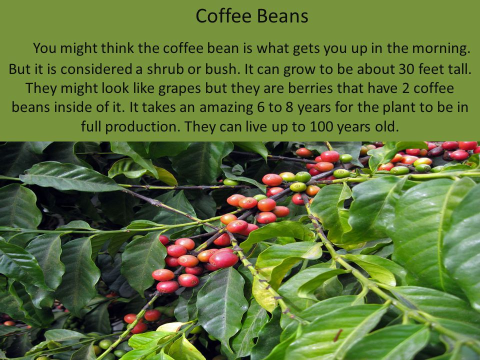 Coffee Beans You might think the coffee bean is what gets you up in the morning. But it is considered a shrub or bush. It can grow to be about 30 feet