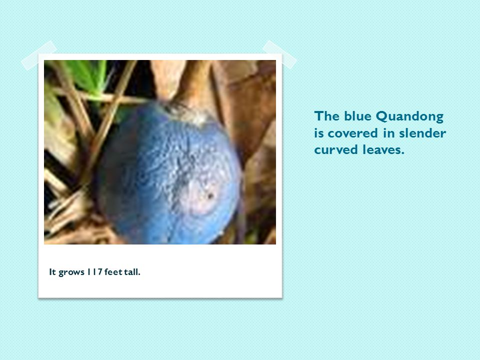 The blue Quandong is covered in slender curved leaves. It grows 117 feet tall.
