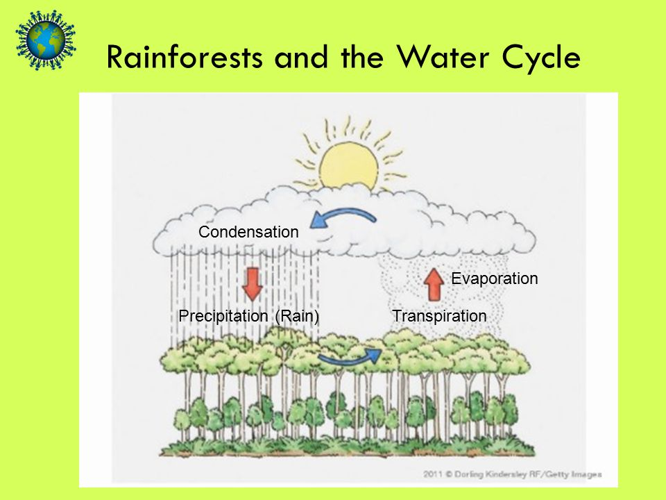 Rainforests and the Water Cycle Precipitation (Rain) Condensation Evaporation Transpiration