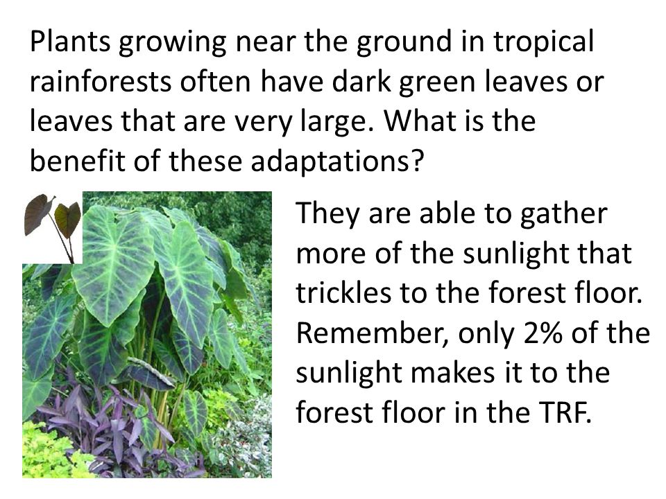 Plants growing near the ground in tropical rainforests often have dark green leaves or leaves that are very large. What is the benefit of these adapta