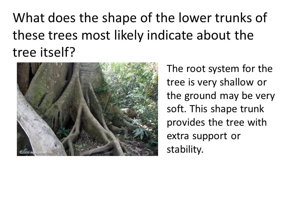 What does the shape of the lower trunks of these trees most likely indicate about the tree itself? The root system for the tree is very shallow or the