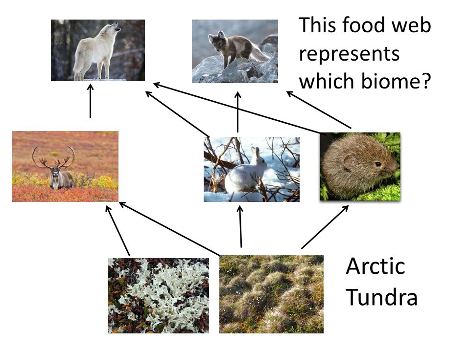 This food web represents which biome? Arctic Tundra