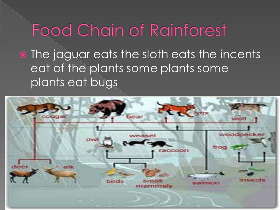  The jaguar eats the sloth eats the incents eat of the plants some plants some plants eat bugs