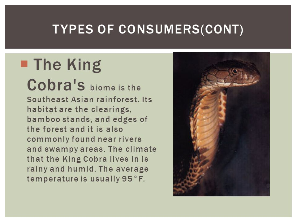  The King Cobra's biome is the Southeast Asian rainforest. Its habitat are the clearings, bamboo stands, and edges of the forest and it is also commo