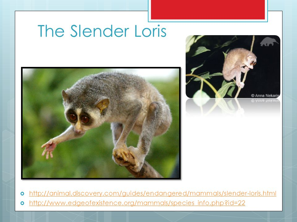 The Slender Loris  http://animal.discovery.com/guides/endangered/mammals/slender-loris.html http://animal.discovery.com/guides/endangered/mammals/sle