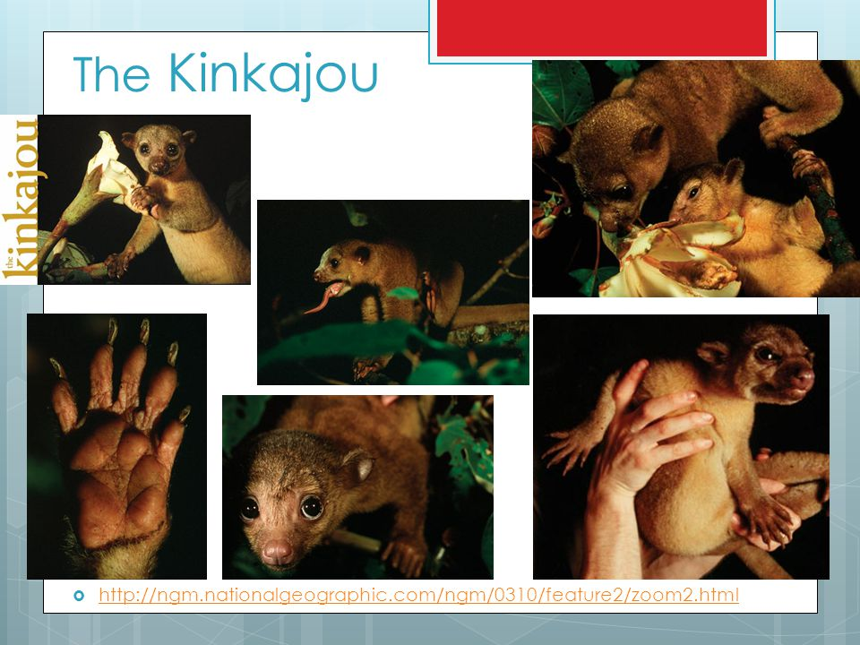 The Kinkajou  http://ngm.nationalgeographic.com/ngm/0310/feature2/zoom2.html http://ngm.nationalgeographic.com/ngm/0310/feature2/zoom2.html