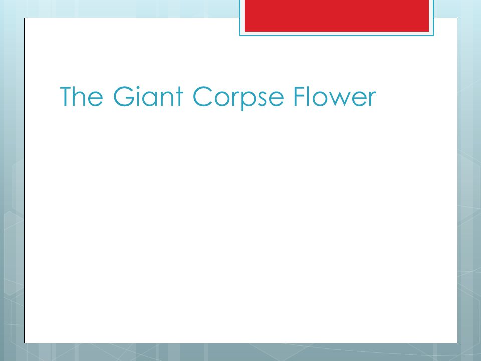 The Giant Corpse Flower