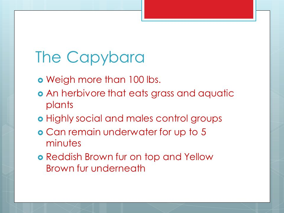 The Capybara  Weigh more than 100 lbs.  An herbivore that eats grass and aquatic plants  Highly social and males control groups  Can remain underw