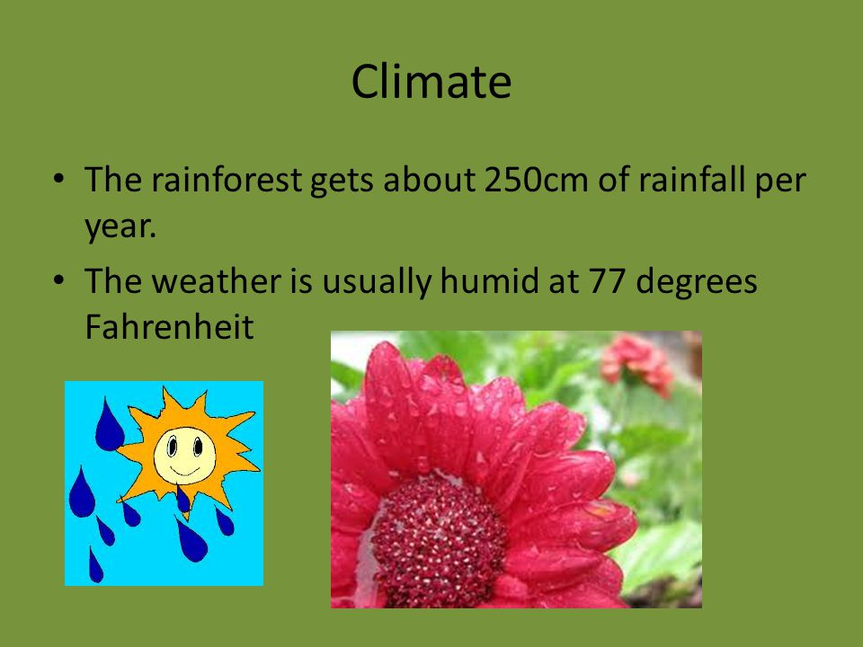 Climate The rainforest gets about 250cm of rainfall per year.