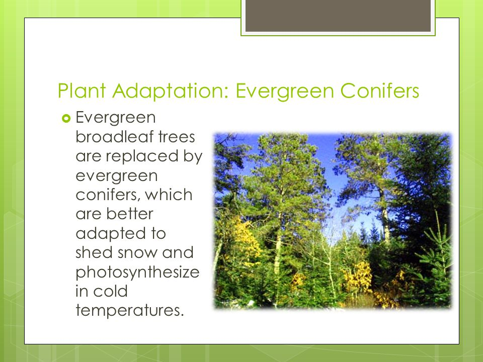 Plant Adaptation: Evergreen Conifers  Evergreen broadleaf trees are replaced by evergreen conifers, which are better adapted to shed snow and photosynthesize in cold temperatures.