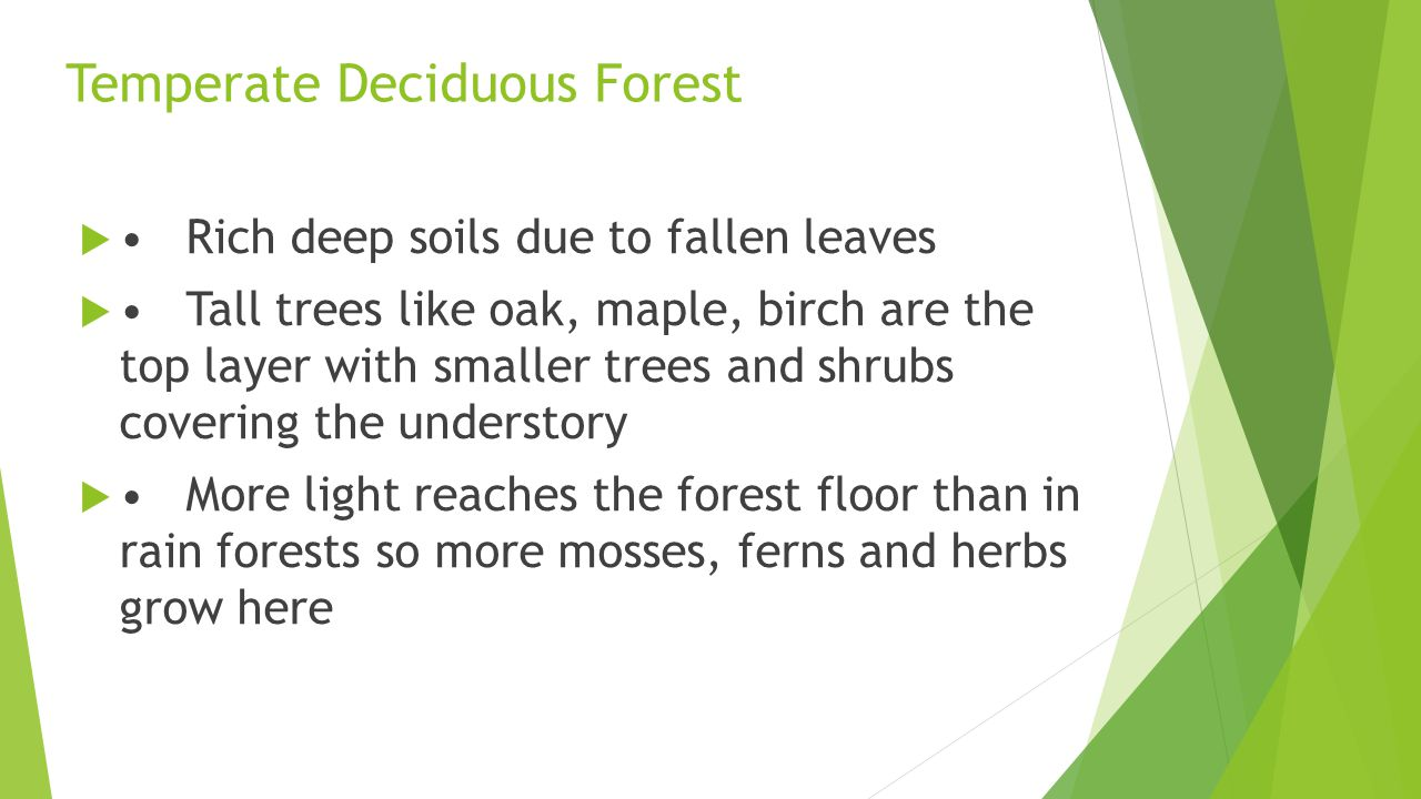 Temperate Deciduous Forest Rich deep soils due to fallen leaves Tall trees like oak, maple, birch are the top layer with smaller trees and shrubs covering the understory More light reaches the forest floor than in rain forests so more mosses, ferns and herbs grow here
