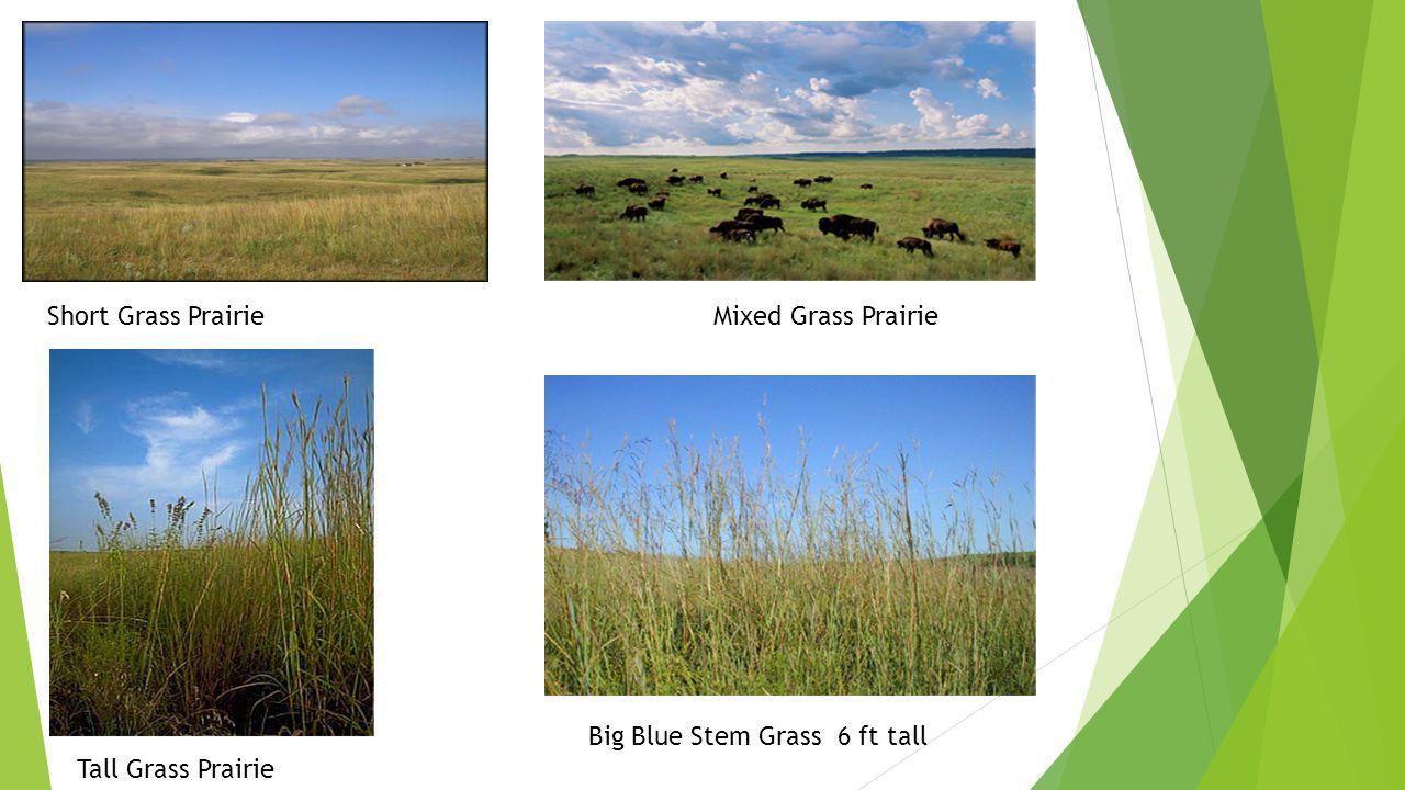 Short Grass Prairie Mixed Grass Prairie Tall Grass Prairie Big Blue Stem Grass 6 ft tall