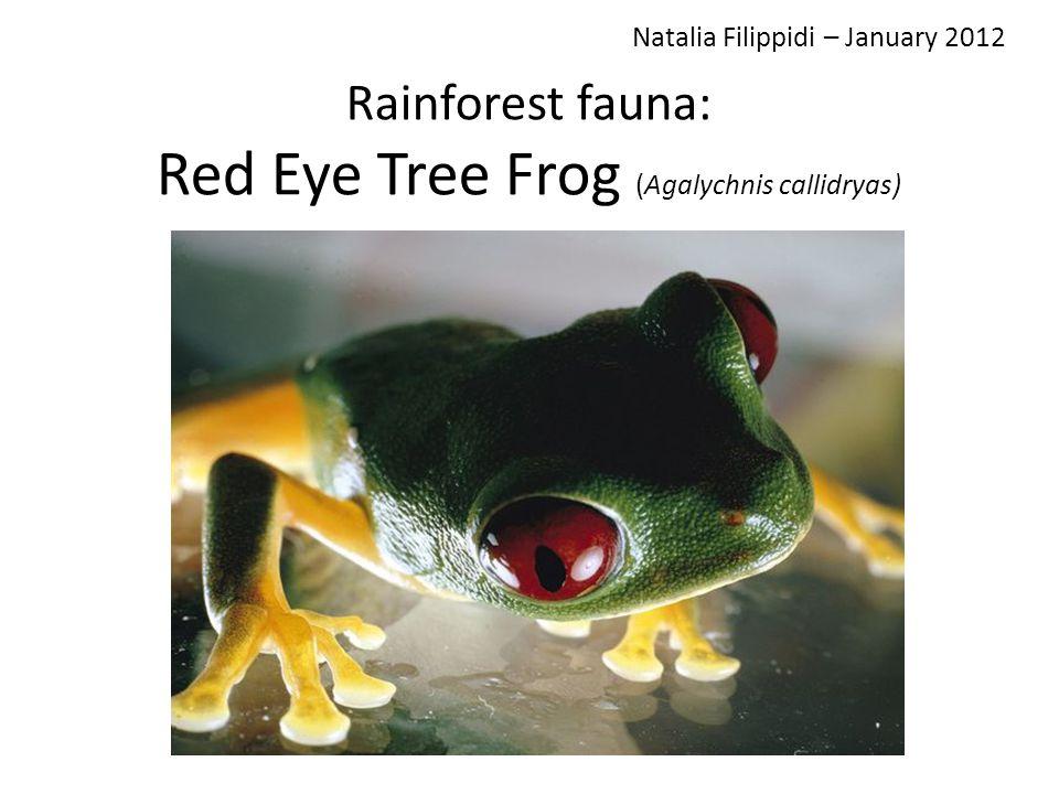 Rainforest fauna: Red Eye Tree Frog (Agalychnis callidryas) Natalia Filippidi – January 2012