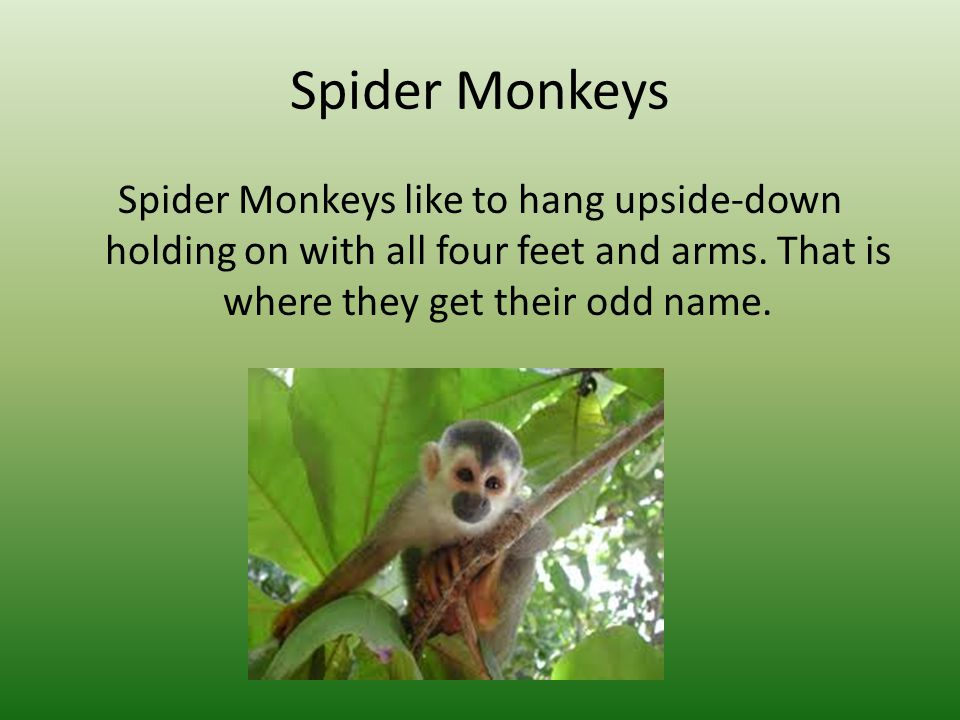 Spider Monkeys Spider Monkeys like to hang upside-down holding on with all four feet and arms.