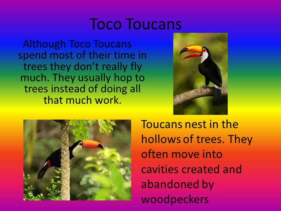Toco Toucans Although Toco Toucans spend most of their time in trees they don't really fly much.