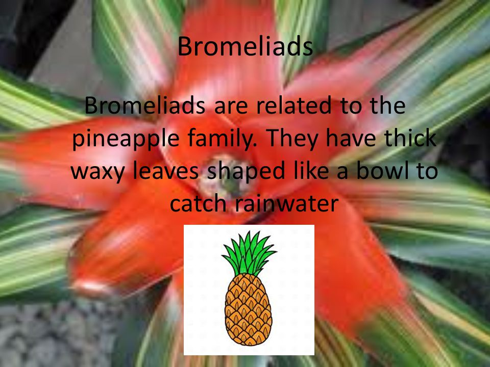 Bromeliads Bromeliads are related to the pineapple family.