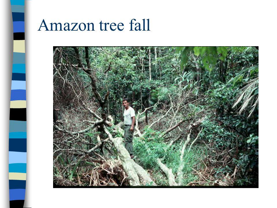 Amazon tree fall
