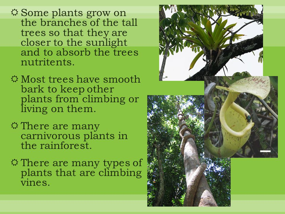  Some plants grow on the branches of the tall trees so that they are closer to the sunlight and to absorb the trees nutritents.