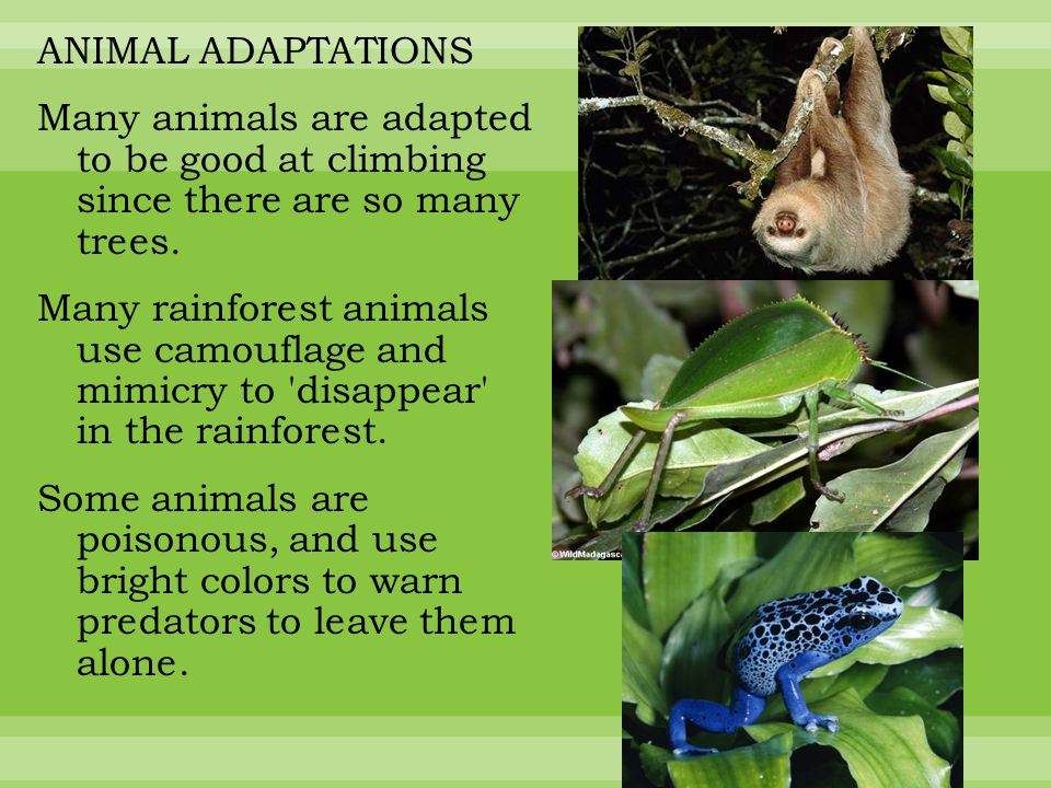 ANIMAL ADAPTATIONS Many animals are adapted to be good at climbing since there are so many trees.