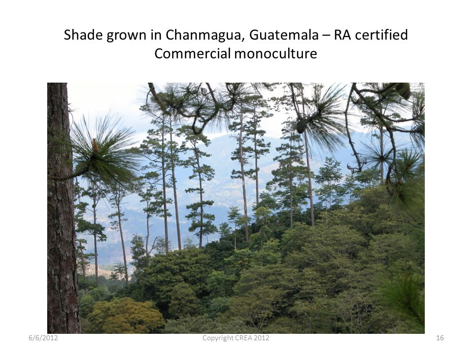 Shade grown in Chanmagua, Guatemala – RA certified Commercial monoculture 6/6/2012Copyright CREA 201216