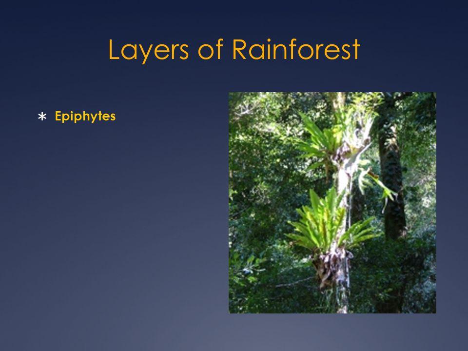 Layers of Rainforest  Epiphytes