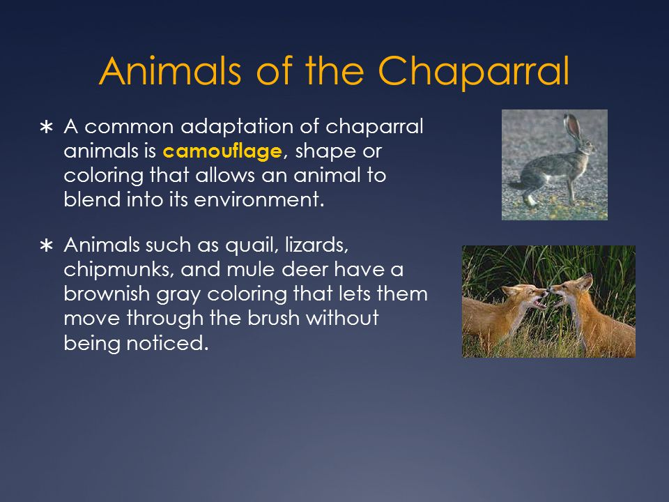 Animals of the Chaparral  A common adaptation of chaparral animals is camouflage, shape or coloring that allows an animal to blend into its environment.