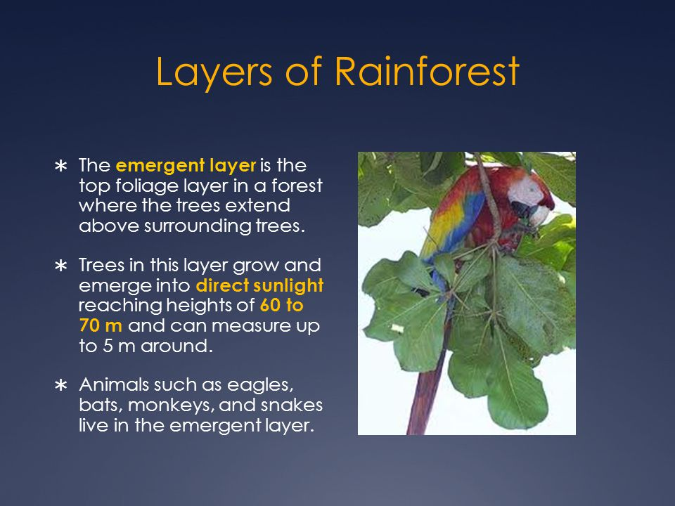  The emergent layer is the top foliage layer in a forest where the trees extend above surrounding trees.