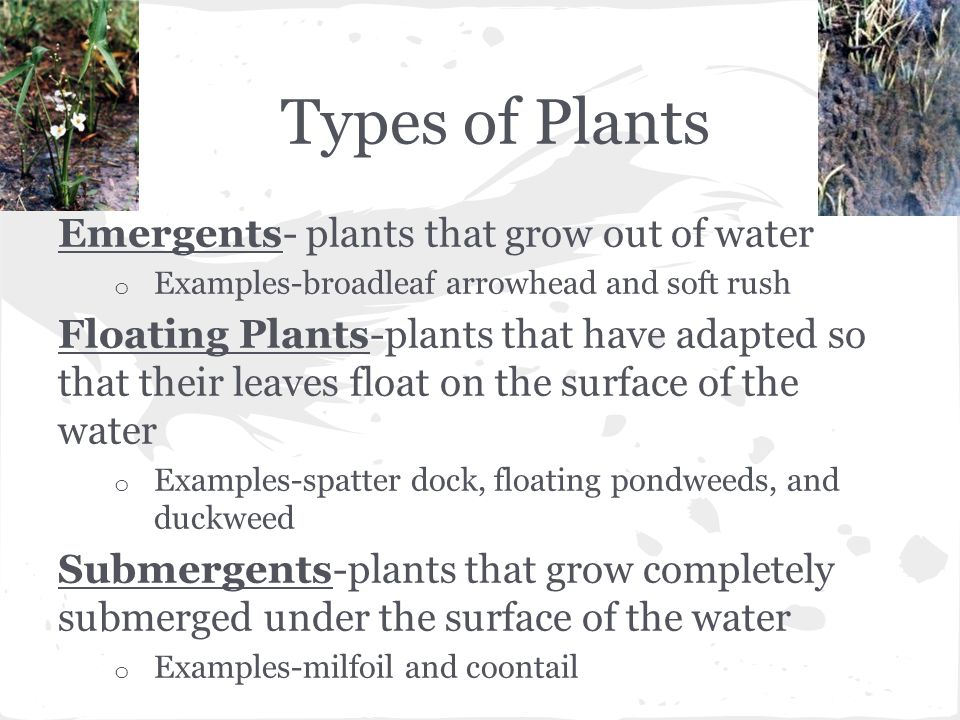 Types of Plants Emergents- plants that grow out of water o Examples-broadleaf arrowhead and soft rush Floating Plants-plants that have adapted so that their leaves float on the surface of the water o Examples-spatter dock, floating pondweeds, and duckweed Submergents-plants that grow completely submerged under the surface of the water o Examples-milfoil and coontail