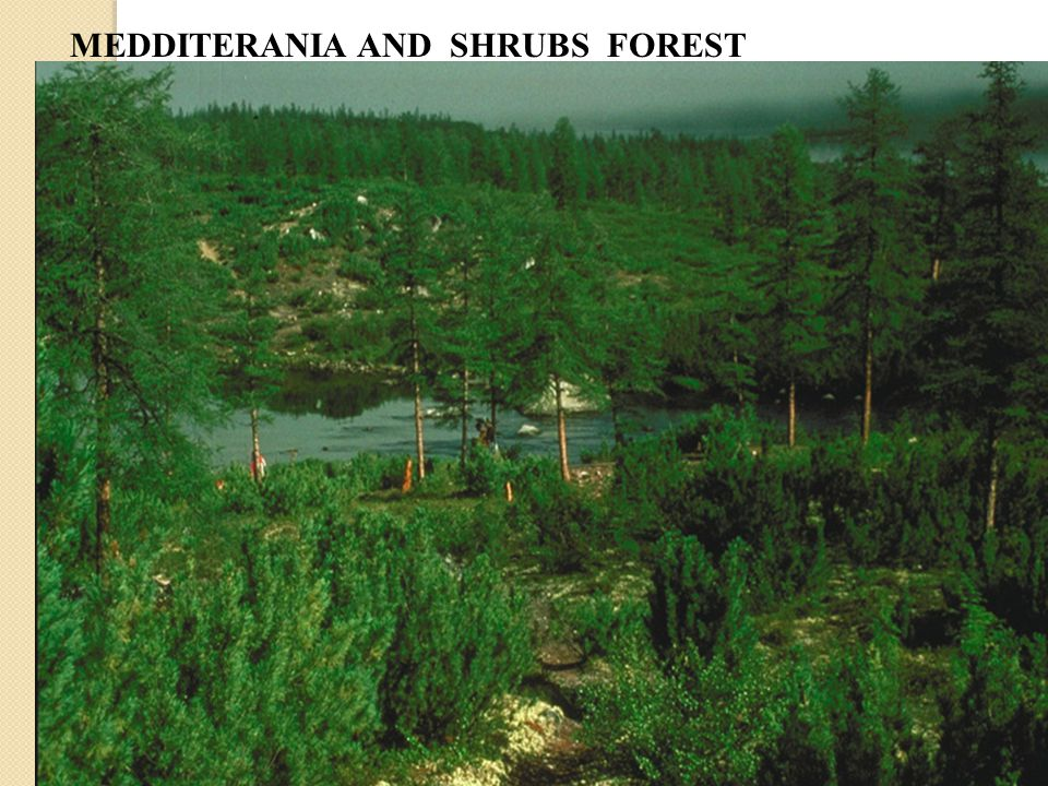 MEDDITERANIA AND SHRUBS FOREST