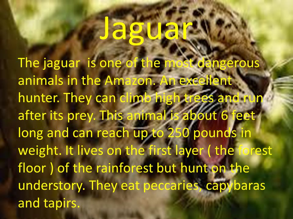 Ocelot The ocelot is also called a dwarf leopard.