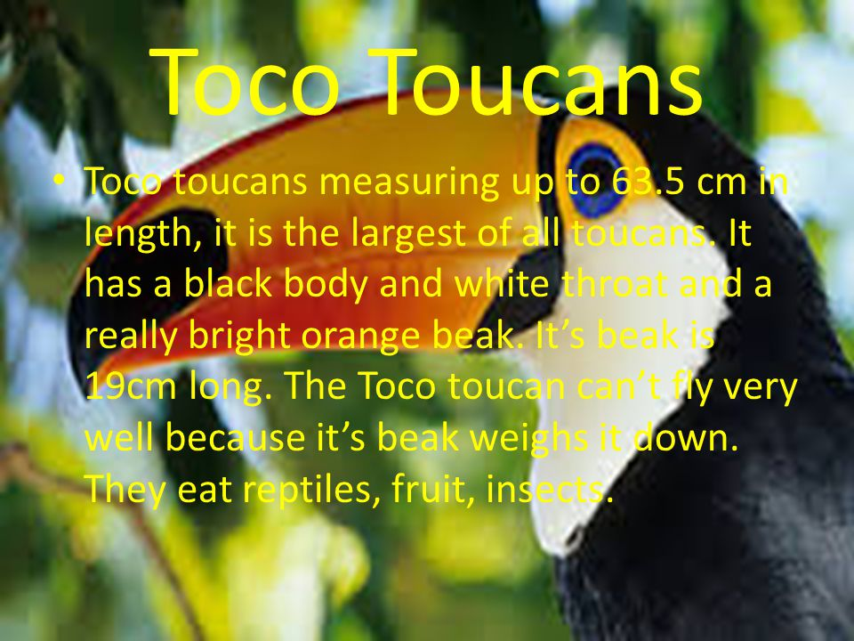 Toco Toucans Toco toucans measuring up to 63.5 cm in length, it is the largest of all toucans.