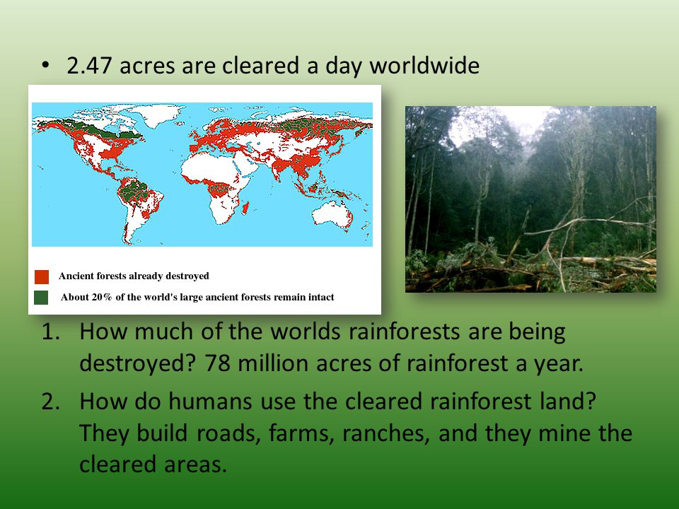 2.47 acres are cleared a day worldwide 1.How much of the worlds rainforests are being destroyed? 78 million acres of rainforest a year. 2.How do human