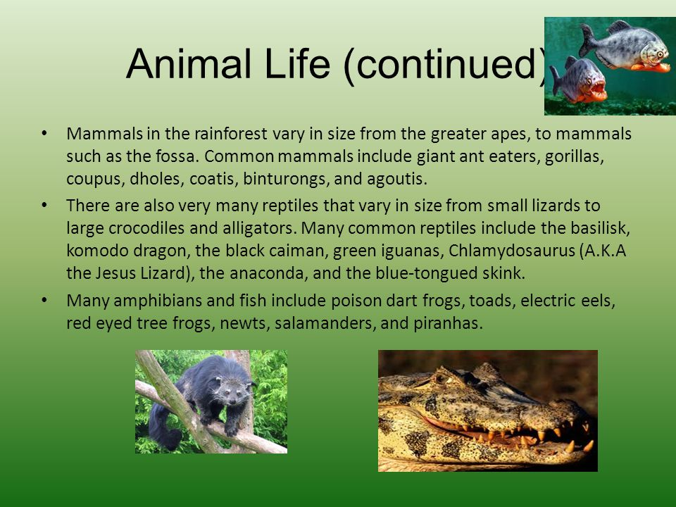 Animal Life (continued) Mammals in the rainforest vary in size from the greater apes, to mammals such as the fossa. Common mammals include giant ant e